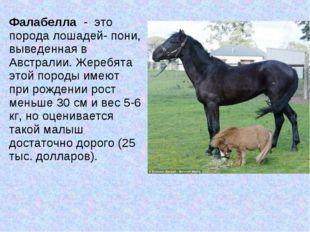 Фалабелла - это порода лошадей- пони, выведенная в Австралии. Жеребята этой