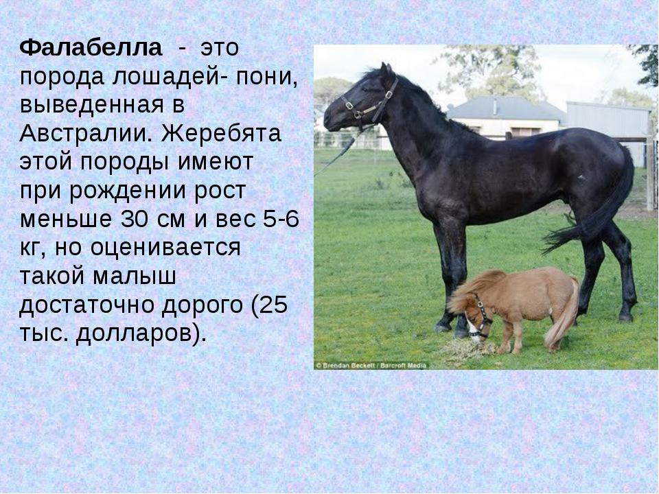 Фалабелла - это порода лошадей- пони, выведенная в Австралии. Жеребята этой...