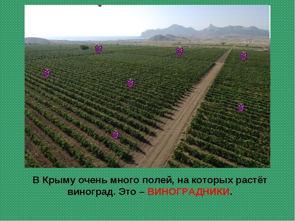 В Крыму очень много полей, на которых растёт виноград. Это – ВИНОГРАДНИКИ.