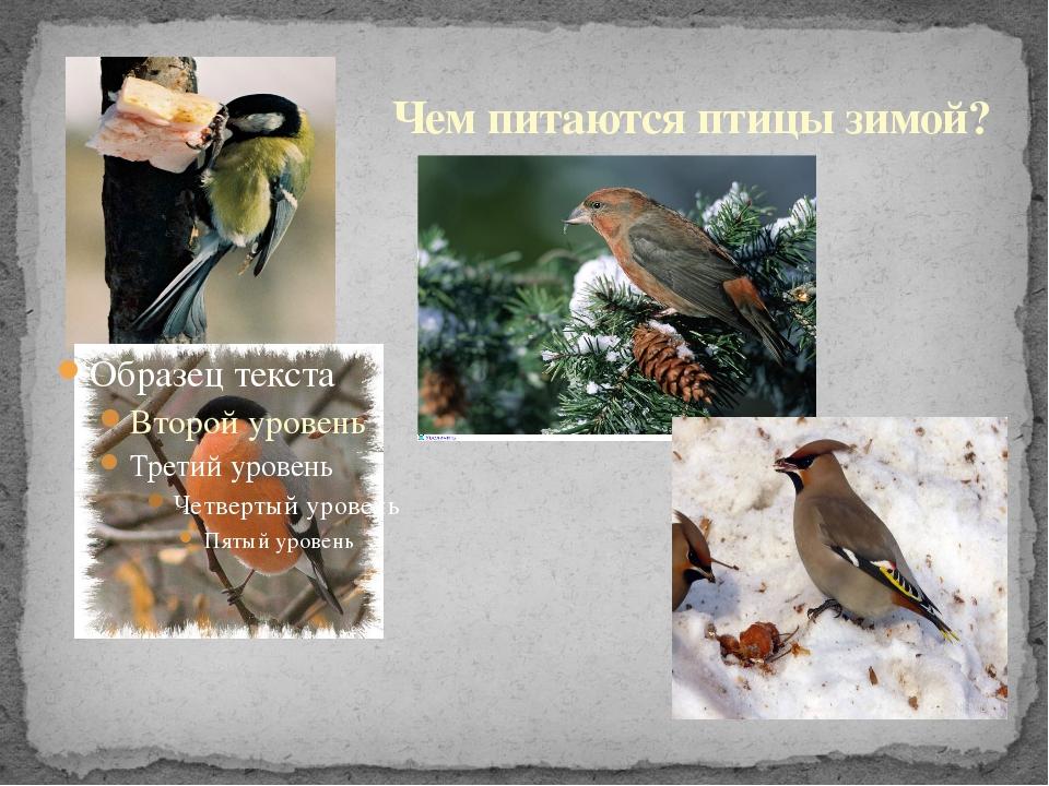 Чем питаются птицы зимой?
