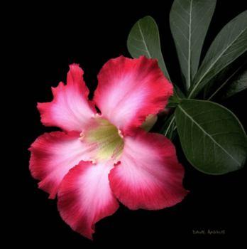Фото Адениума тучного(Adenium obesum)