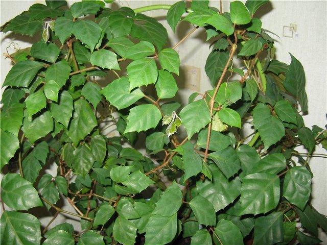 Березка - комнатное растение (роициссус)