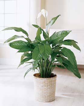Фото Спатифиллума (Spathiphyllum sp.)