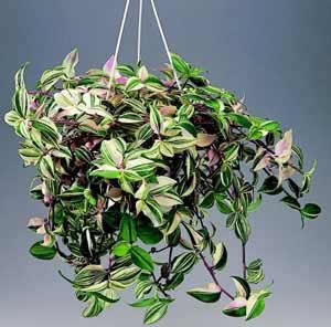 Фото Традесканции белоцветковой (Tradescantia albiflora)