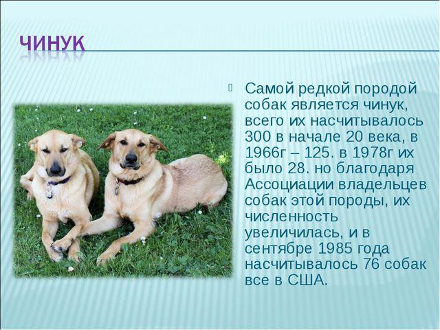 Самой редкой породой собак является чинук, всего их насчитывалось 300 в начал...