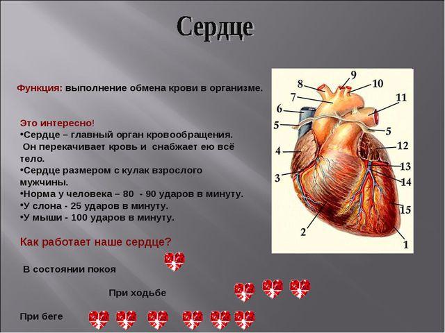 Функция: выполнение обмена крови в организме. Это интересно! Сердце – главный...