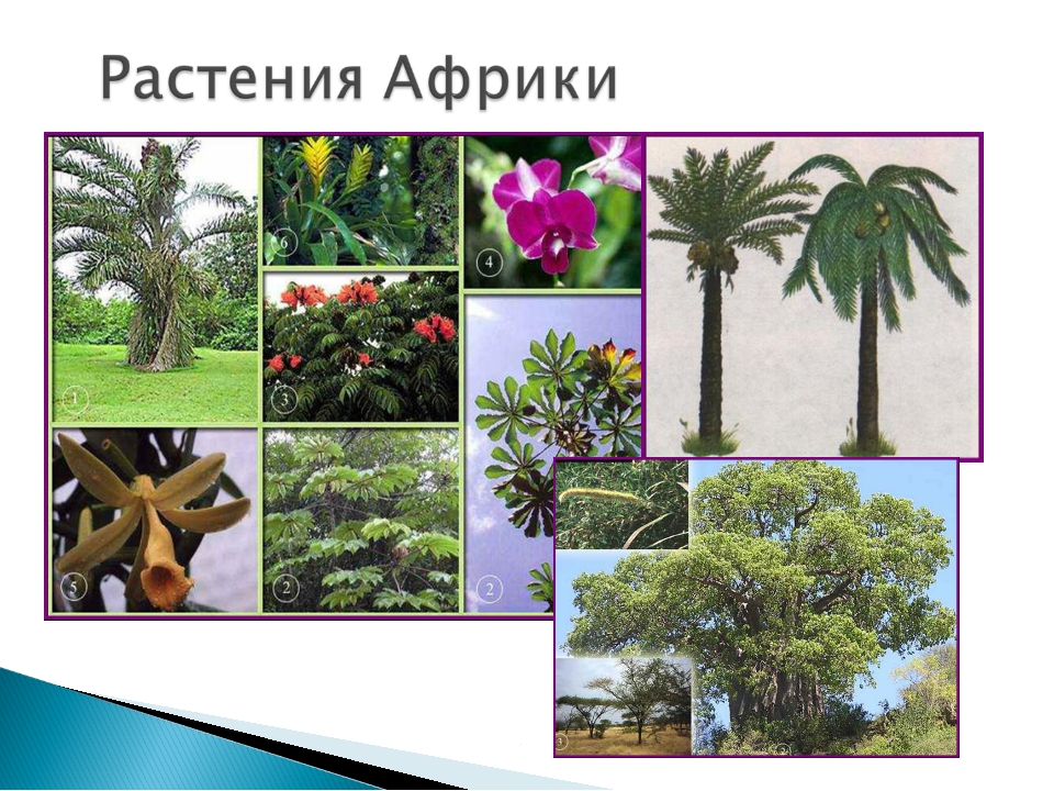 растения африки картинка с названиями самого памятника