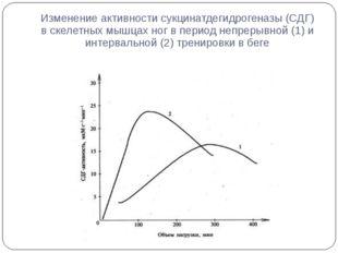 Изменение активности сукцинатдегидрогеназы (СДГ) в скелетных мышцах ног в пер