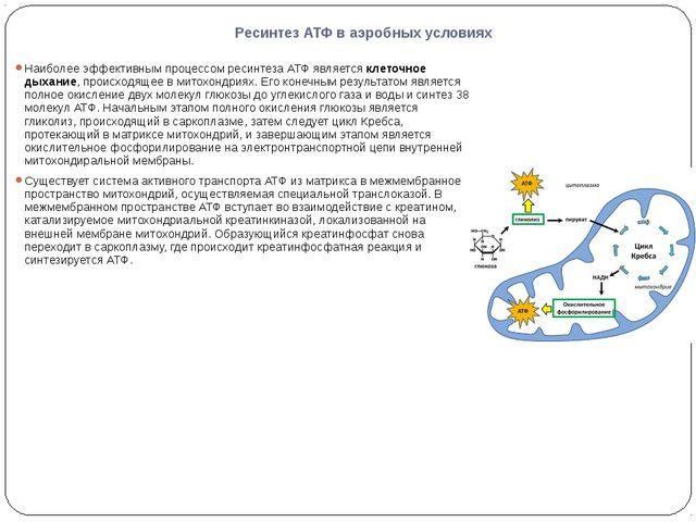 Ресинтез АТФ в аэробных условиях Наиболее эффективным процессом ресинтеза АТФ...