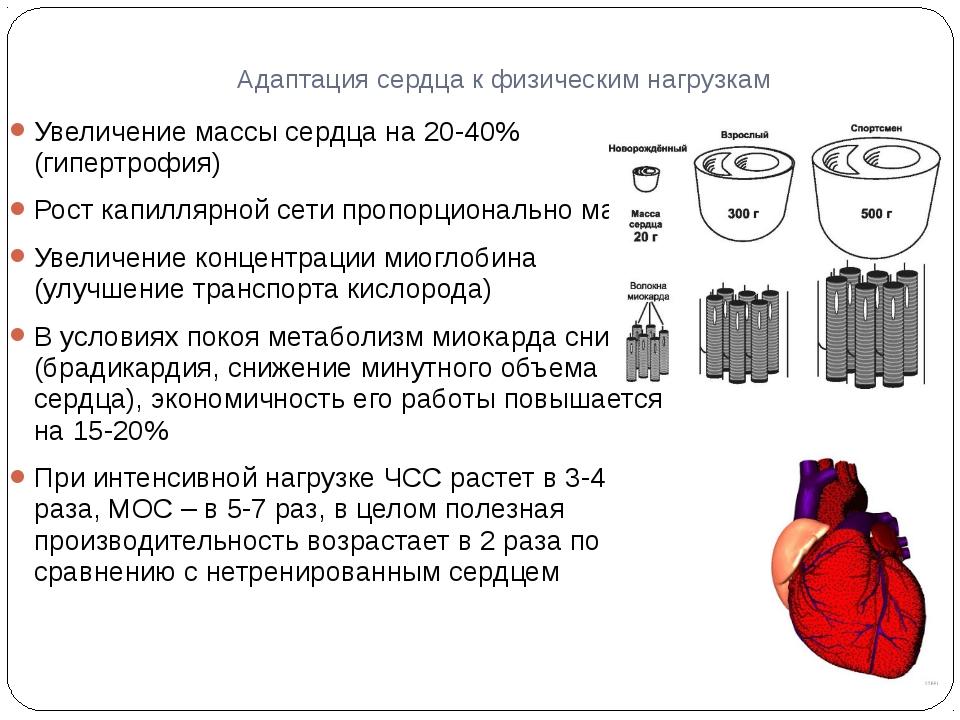 Адаптация сердца к физическим нагрузкам Увеличение массы сердца на 20-40% (ги...
