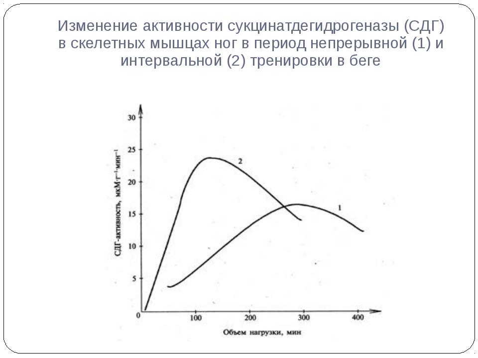 Изменение активности сукцинатдегидрогеназы (СДГ) в скелетных мышцах ног в пер...