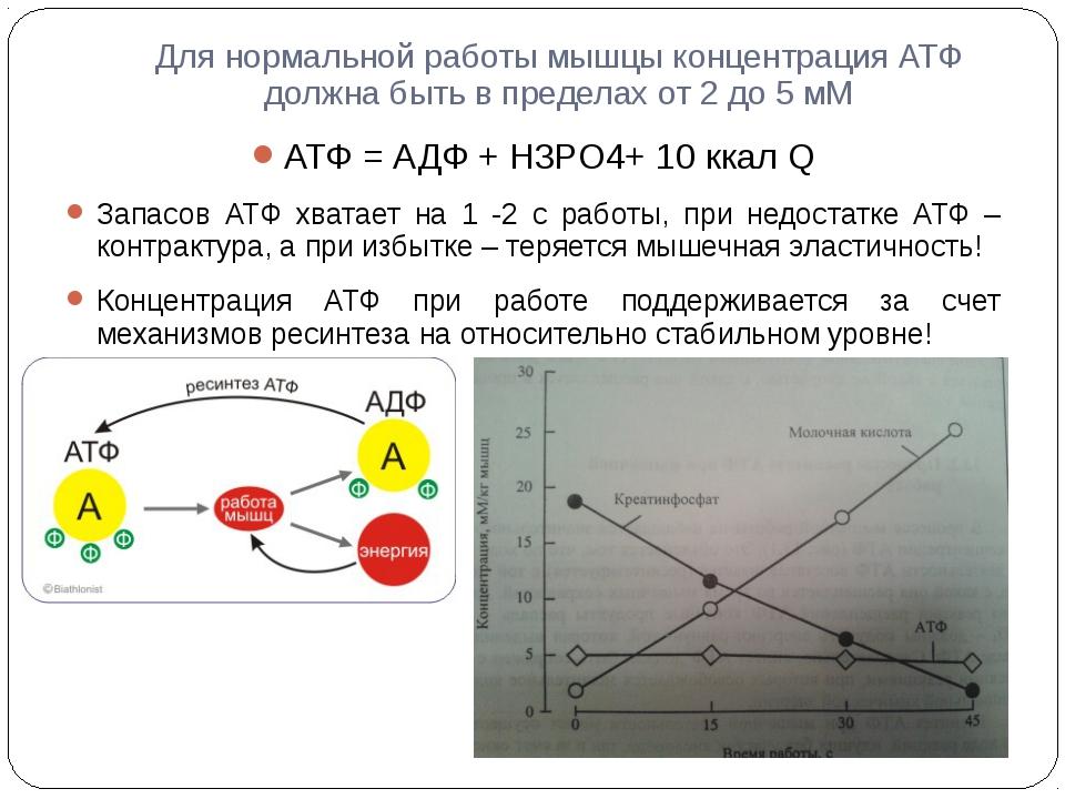 Для нормальной работы мышцы концентрация АТФ должна быть в пределах от 2 до 5...