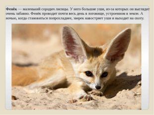 Фенёк — маленький сородич лисицы. У него большие уши, из-за которых он выгляд