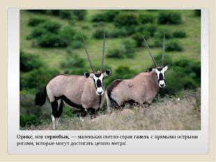 Орикс, или сернобык, — маленькая светло-серая газель с прямыми острыми рогами