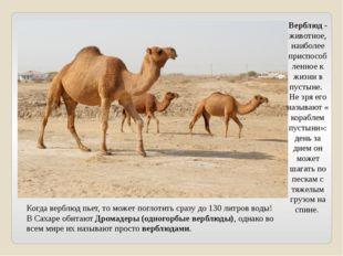 Когда верблюд пьет, то может поглотить сразу до 130 литров воды! В Сахаре оби