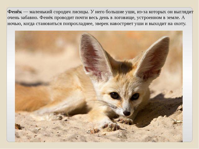 Фенёк — маленький сородич лисицы. У него большие уши, из-за которых он выгляд...
