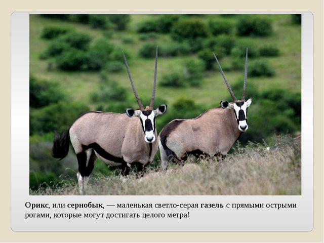 Орикс, или сернобык, — маленькая светло-серая газель с прямыми острыми рогами...