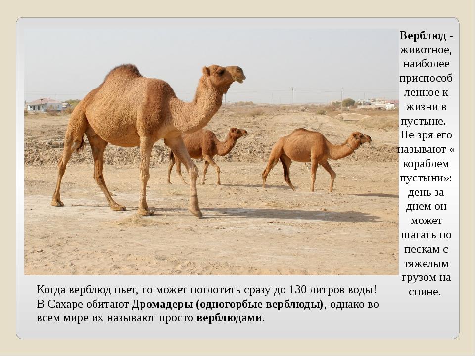 Когда верблюд пьет, то может поглотить сразу до 130 литров воды! В Сахаре оби...