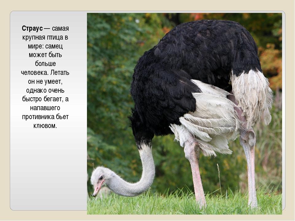 Страус — самая крупная птица в мире: самец может быть больше человека. Летат...
