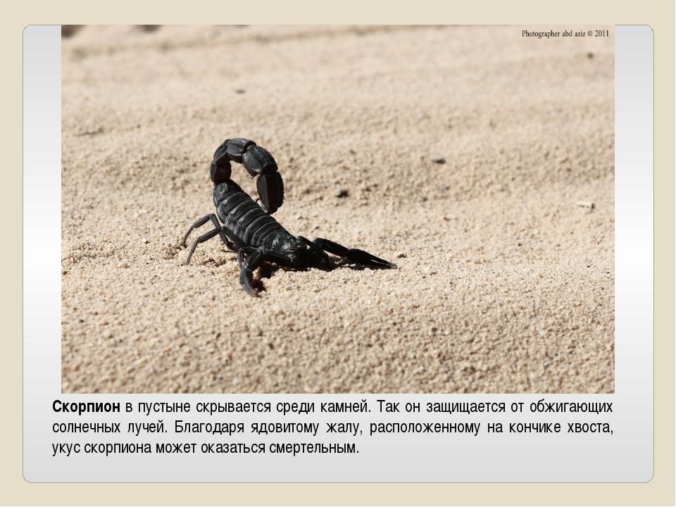 Скорпион в пустыне скрывается среди камней. Так он защищается от обжигающих с...