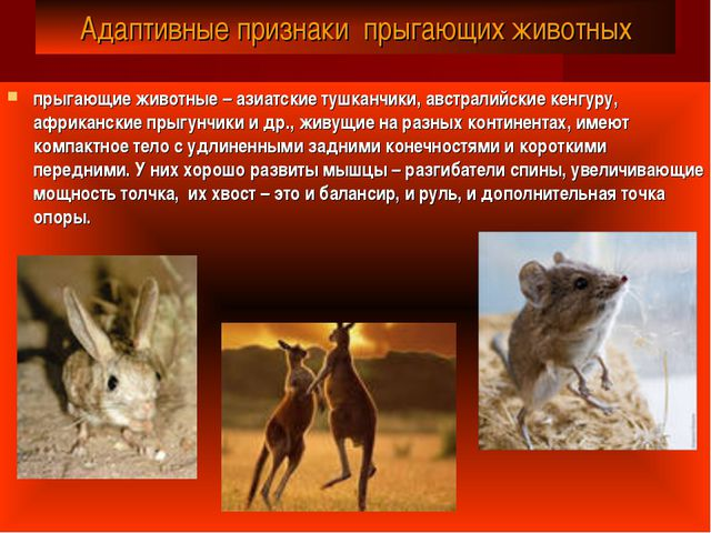 Адаптивные признаки прыгающих животных прыгающие животные– азиатские тушканч...