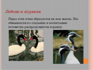 Лебеди и журавли Пары этих птиц образуются на всю жизнь. Все обязанности по с