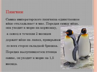 Пингвин Самка императорского пингвина единственное яйцо откладывает в мае. Пе