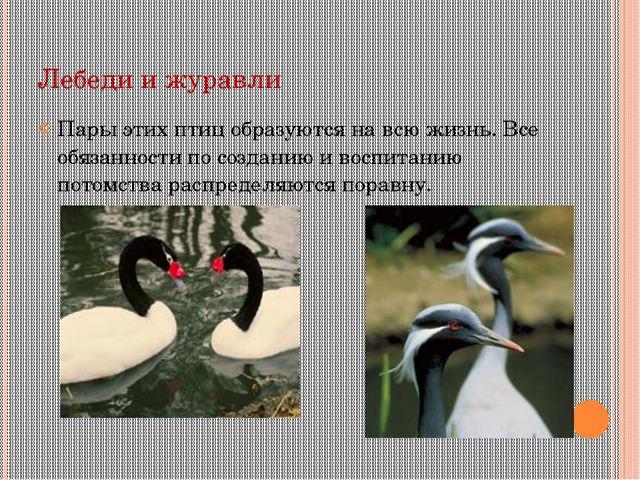 Лебеди и журавли Пары этих птиц образуются на всю жизнь. Все обязанности по с...
