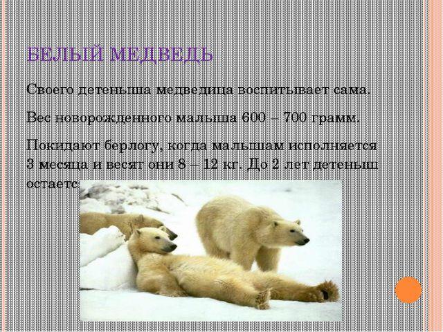 БЕЛЫЙ МЕДВЕДЬ Своего детеныша медведица воспитывает сама. Вес новорожденного...
