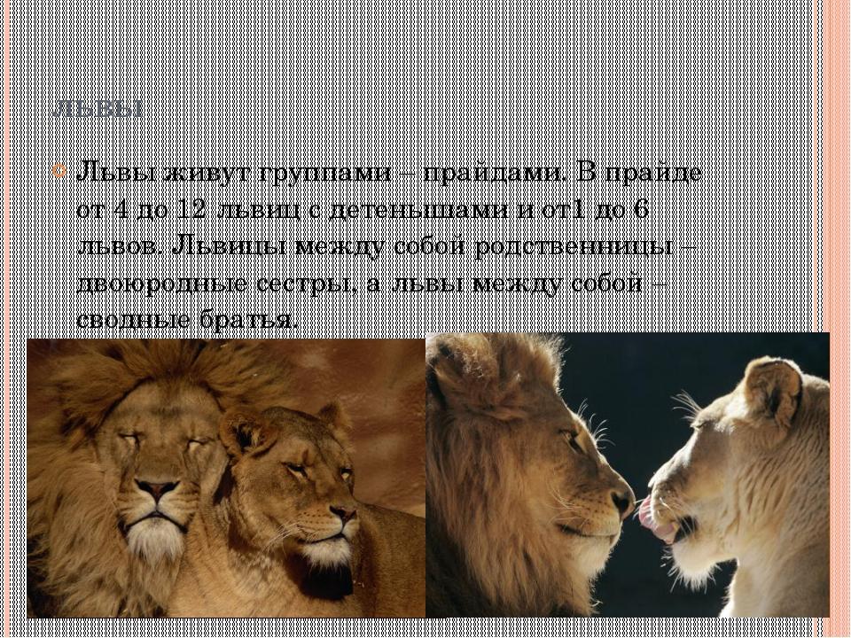 львы Львы живут группами – прайдами. В прайде от 4 до 12 львиц с детенышами и...