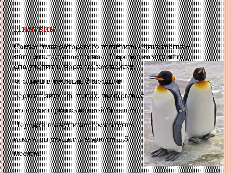 Пингвин Самка императорского пингвина единственное яйцо откладывает в мае. Пе...