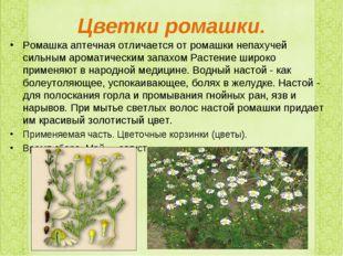Цветки ромашки. Ромашка аптечная отличается от ромашки непахучей сильным аром