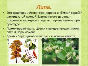 Липа. Это красивое лиственное дерево с тёмной корой и раскидистой кроной. Цве