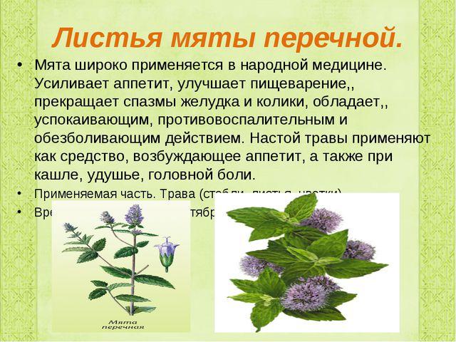 Листья мяты перечной. Мята широко применяется в народной медицине. Усиливает...