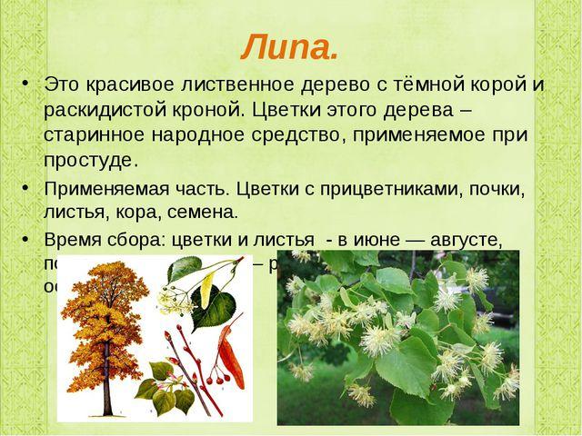 Липа. Это красивое лиственное дерево с тёмной корой и раскидистой кроной. Цве...