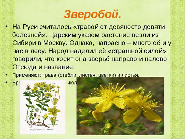 Зверобой. На Руси считалось «травой от девяносто девяти болезней». Царским ук...