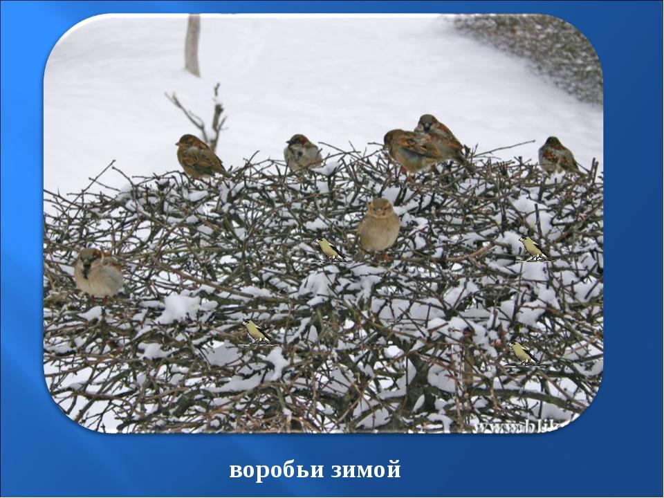 воробьи зимой