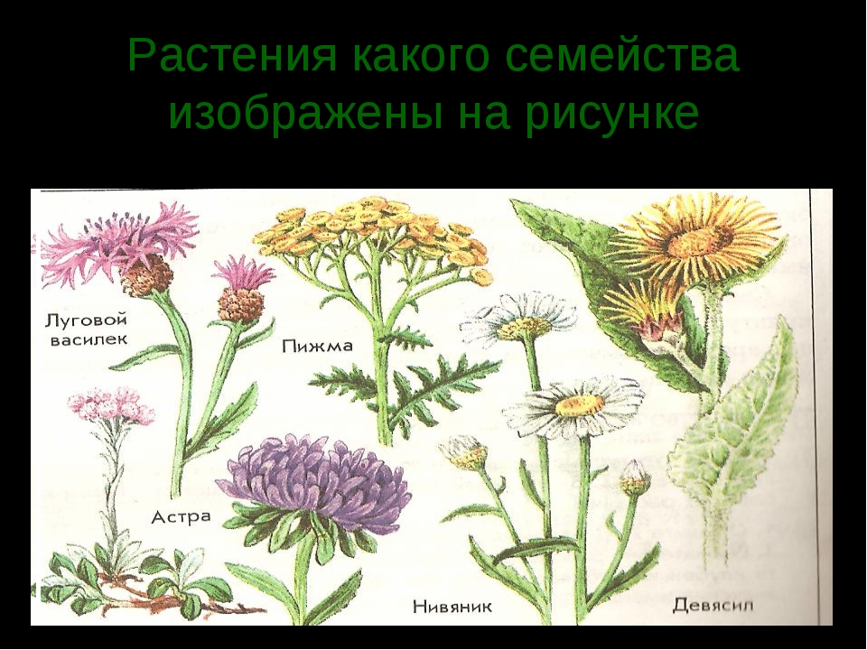Растения какого семейства изображены на рисунке