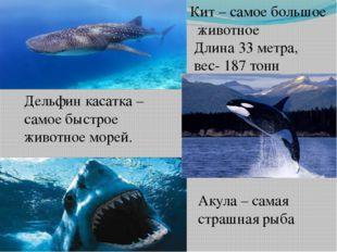Кит – самое большое животное Длина 33 метра, вес- 187 тонн Акула – самая стра