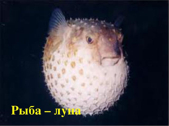 Рыба – луна