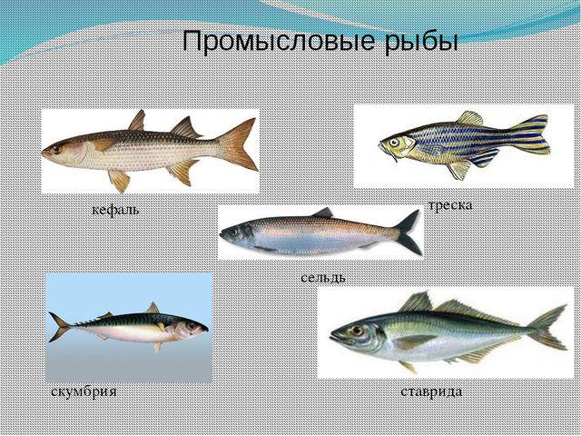 треска кефаль скумбрия ставрида Промысловые рыбы сельдь