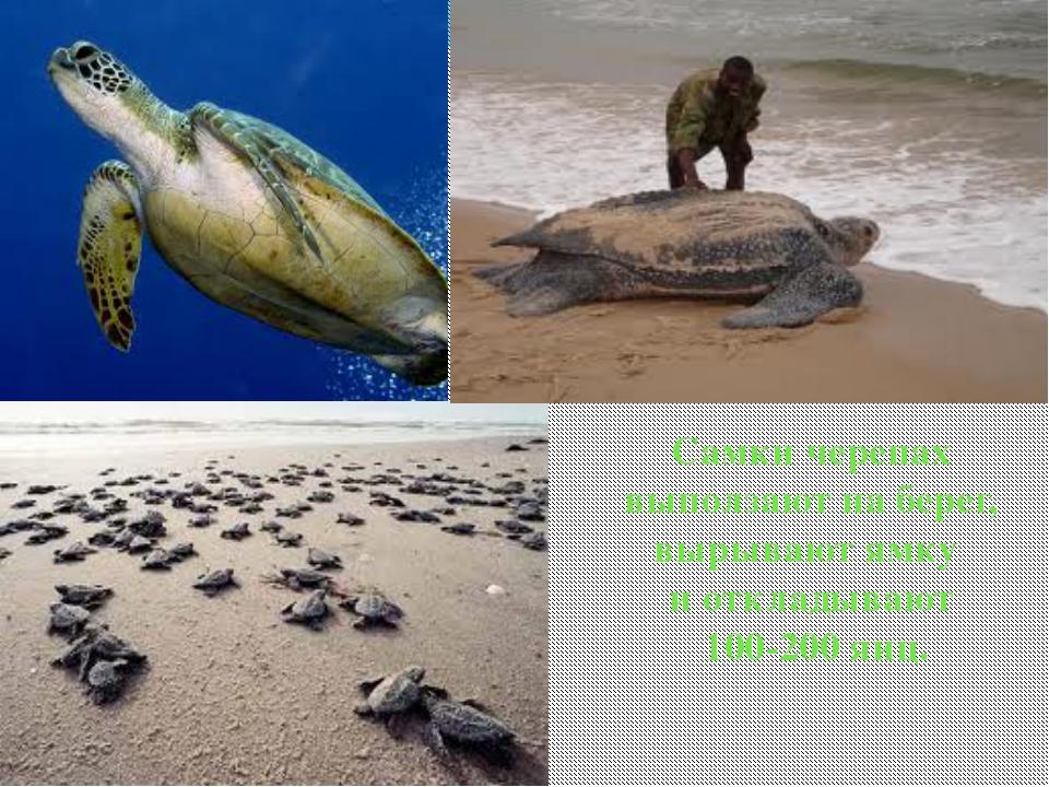 Самки черепах выползают на берег, вырывают ямку и откладывают 100-200 яиц.
