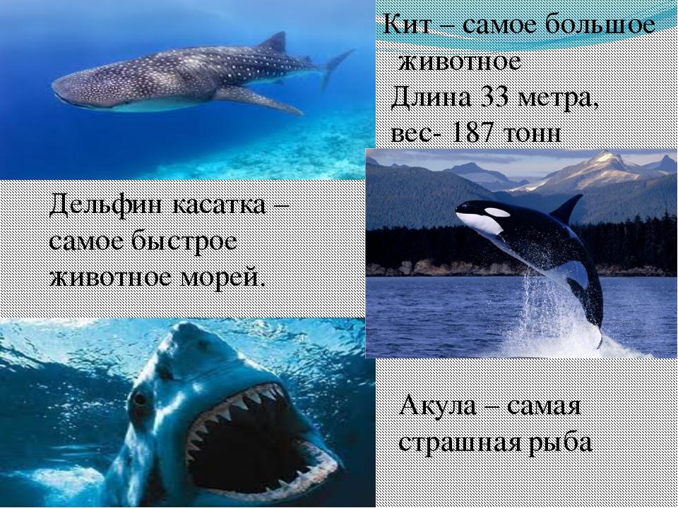 Кит – самое большое животное Длина 33 метра, вес- 187 тонн Акула – самая стра...