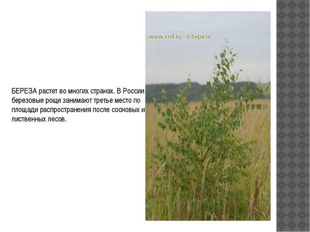 БЕРЕЗА растет во многих странах. В России березовые рощи занимают третье мест...