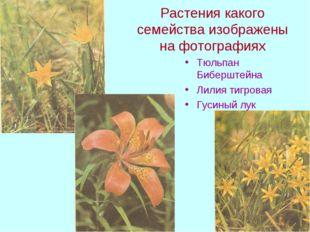 Растения какого семейства изображены на фотографиях Тюльпан Биберштейна Лилия