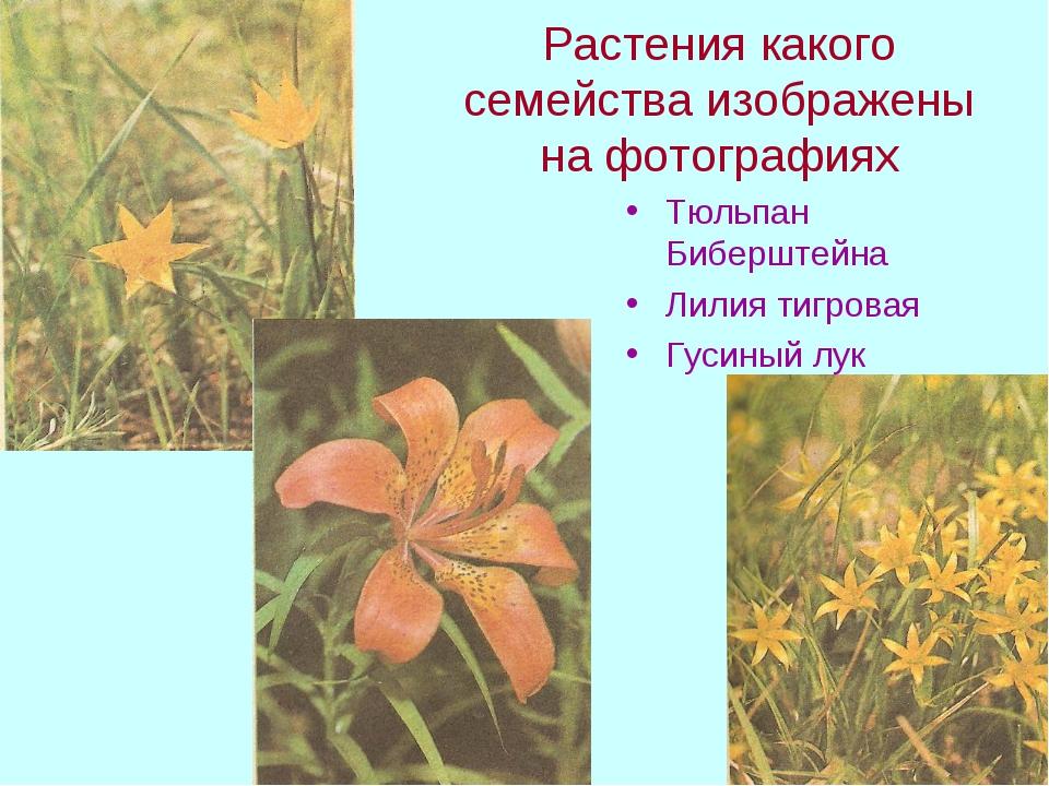 Растения какого семейства изображены на фотографиях Тюльпан Биберштейна Лилия...