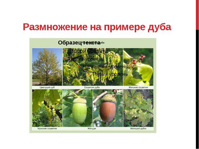 Размножение на примере дуба