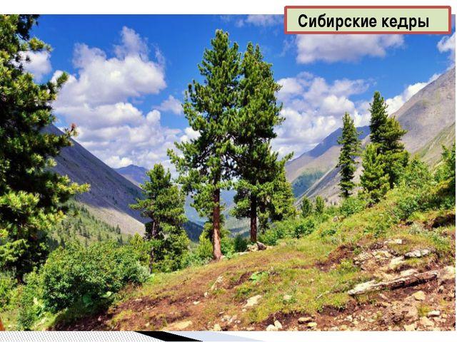 Сибирские кедры