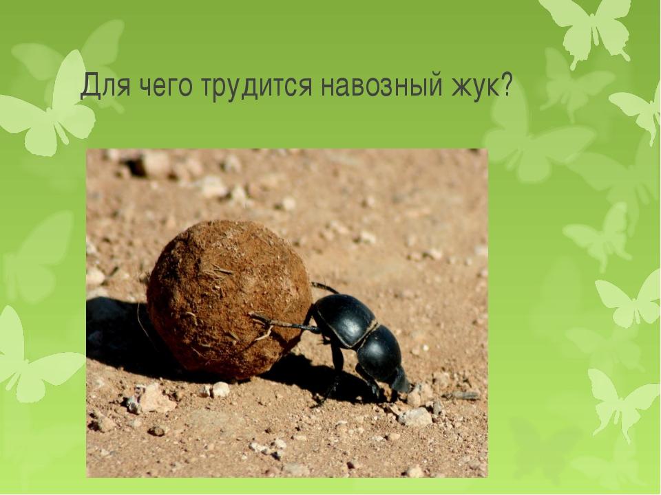 Для чего трудится навозный жук?
