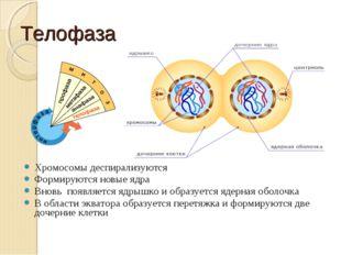 Телофаза Хромосомы деспирализуются Формируются новые ядра Вновь появляется яд